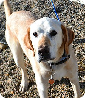 Labrador Retriever Mix Dog for adoption in Fruit Heights, Utah - Newt