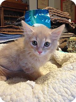 Domestic Longhair Kitten for adoption in Fountain Hills, Arizona - ARCHIE