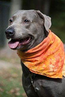 Labrador Retriever Mix Dog for adoption in Lewisville, Indiana - Willow