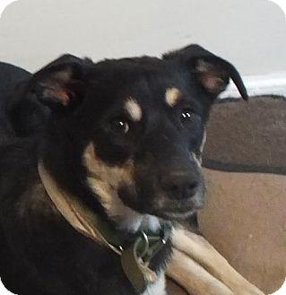 German Shepherd Dog Mix Dog for adoption in Preston, Connecticut - Claw