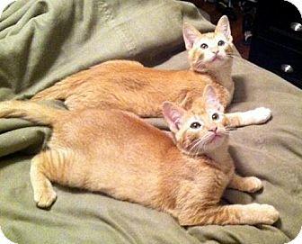 Domestic Mediumhair Kitten for adoption in Chandler, Arizona - Nala