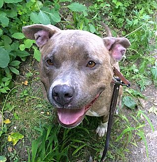 Pit Bull Terrier Mix Dog for adoption in Carmel, New York - Lucy