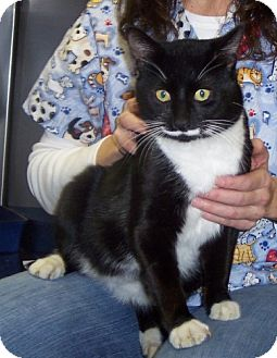 Domestic Shorthair Cat for adoption in Winder, Georgia - Domino aka Mustach