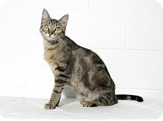 Domestic Shorthair Cat for adoption in Lufkin, Texas - Chessa