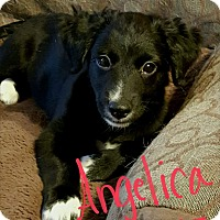 Adopt A Pet :: Angelica - Torrance, CA