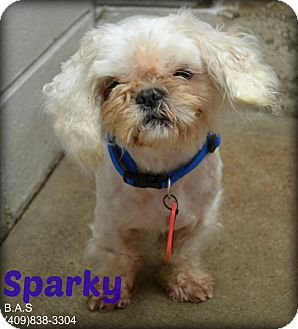 Shih Tzu Mix Dog for adoption in Beaumont, Texas - Sparky