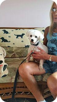 Poodle (Miniature) Dog for adoption in Cincinnati, Ohio - Dasher