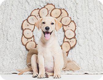 Labrador Retriever/Golden Retriever Mix Puppy for adoption in Redding, California - Lucy  ADOPTED