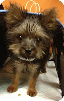 Maltese/Yorkie, Yorkshire Terrier Mix Puppy for adoption in Fairview Heights, Illinois - Major