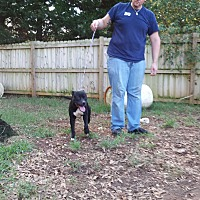 Labrador Retriever/German Shepherd Dog Mix Dog for adoption in Inman, South Carolina - Backster