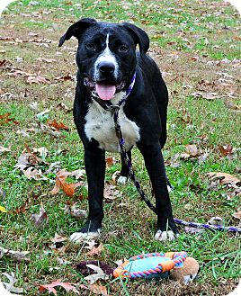 Boxer Mix Dog for adoption in Plainfield, Connecticut - Chevy