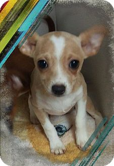 Chihuahua Mix Puppy for adoption in Apache Junction, Arizona - Delta