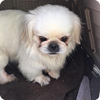 Adopt A Pet :: Maestro - SO CALIF, CA