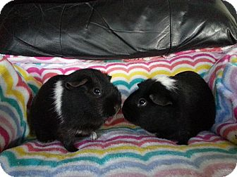 Guinea Pig for adoption in Harleysville, Pennsylvania - Naomi and Aubree