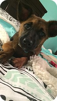 German Shepherd Dog Mix Puppy for adoption in Vancouver, British Columbia - Cooper