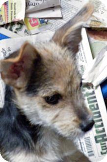 Yorkie, Yorkshire Terrier Mix Puppy for adoption in Okeechobee, Florida - Tramp