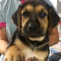 Adopt A Pet :: Simone - Barnegat, NJ