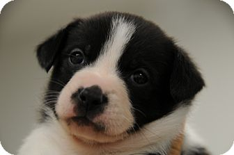 Jack Russell Terrier Mix Puppy for adoption in Agoura Hills, California - Moo