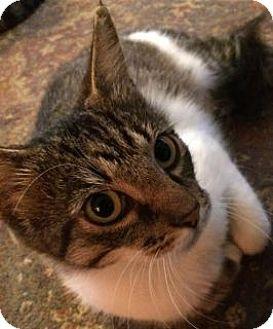 Domestic Shorthair Cat for adoption in Toledo, Ohio - Moon Shadow