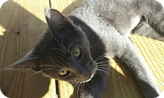 Russian Blue Kitten for adoption in New Smyrna Beach, Florida - Silver Belle