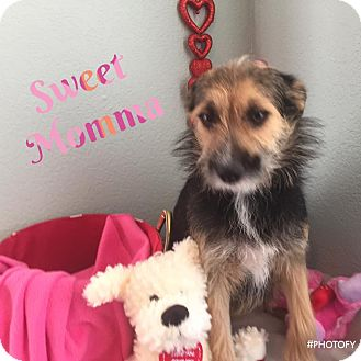 Australian Terrier Mix Dog for adoption in Enid, Oklahoma - Sweet Momma