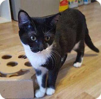 Domestic Shorthair Kitten for adoption in Kingwood, Texas - Sheldon