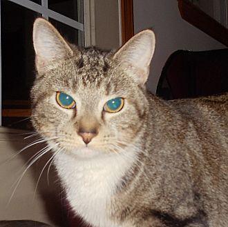 Domestic Shorthair Cat for adoption in Evans, West Virginia - Alex