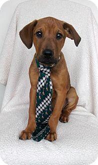Golden Retriever/German Shepherd Dog Mix Puppy for adoption in Elkton, Maryland - Scotch