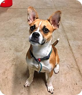 French Bulldog/Boxer Mix Dog for adoption in Mentor, Ohio - PAX**~1 YR OLD & 25 LBS!!