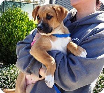 Shepherd (Unknown Type)/Boxer Mix Puppy for adoption in Lathrop, California - Bull
