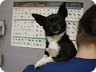 Chihuahua Mix Dog for adoption in Tacoma, Washington - Socks