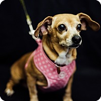 Adopt A Pet :: Strudel - Studio City, CA