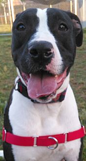 Pit Bull Terrier/Great Dane Mix Dog for adoption in Huntsville, Alabama - Sonic