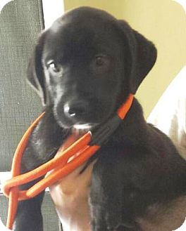 Labrador Retriever Mix Puppy for adoption in Oswego, Illinois - Robbie