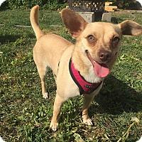 Adopt A Pet :: Pippa - Winnipeg, MB