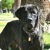 Mastiff Dog for adoption in Goodyear, Arizona - Dorie
