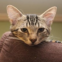 Domestic Shorthair Cat for adoption in Cypress, Texas - OAKLEY