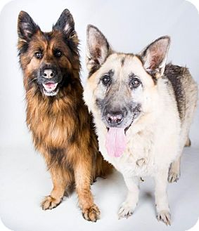 German Shepherd Dog Mix Dog for adoption in Whitestone, New York - Lexi (Bonded Pair)