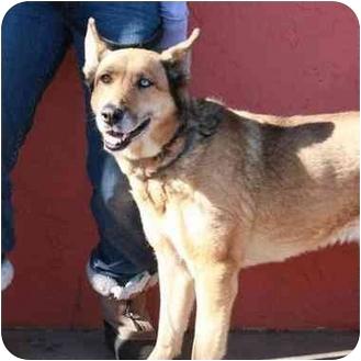 German Shepherd Dog/Siberian Husky Mix Dog for adoption in Denver, Colorado - Ruby
