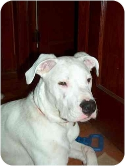 Dogo Argentino Dog for adoption in Middlesex, New Jersey - Polar