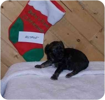 Spaniel (Unknown Type)/Corgi Mix Puppy for adoption in Broomfield, Colorado - Allspice_Ginger's Pup