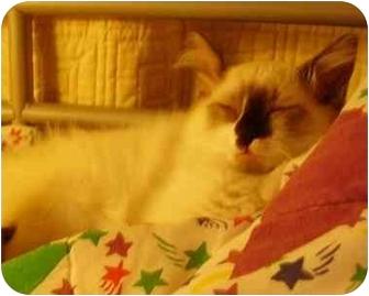 Siamese Kitten for adoption in Davis, California - Mushu