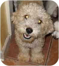 Poodle (Toy or Tea Cup) Mix Puppy for adoption in Phoenix, Arizona - Felicity