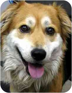 Australian Shepherd/Shepherd (Unknown Type) Mix Dog for adoption in Los Angeles, California - Meadow