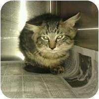 Domestic Mediumhair Kitten for adoption in Tampa, Florida - Bear