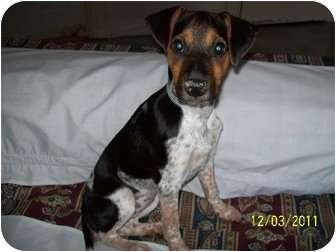 Beagle/Blue Heeler Mix Puppy for adoption in Bel Air, Maryland - Claire