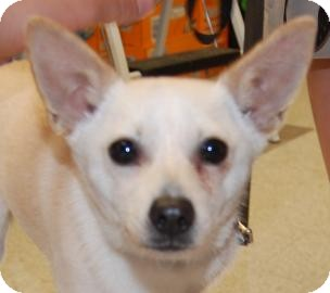 Chihuahua Mix Dog for adoption in Brooklyn, New York - Madison