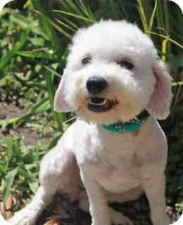 Poodle (Miniature)/Bichon Frise Mix Dog for adoption in Norwalk, Connecticut - Sunshine -adoption pending
