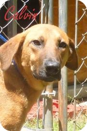 Shepherd (Unknown Type) Mix Dog for adoption in Georgetown, South Carolina - Calvin