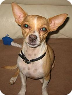 Chihuahua Mix Dog for adoption in Chandler, Arizona - Andy